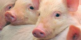 article_ferme_cochons