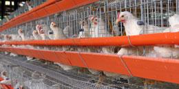 article_ferme_poulets